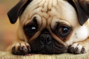 Woran müssen Sie denken, wenn Sie einen Mops Hund kaufen.