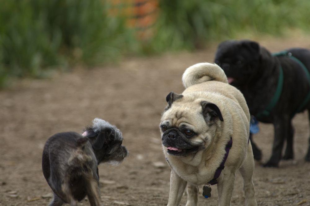 Verhalten Mops gegenüber anderen Hunden