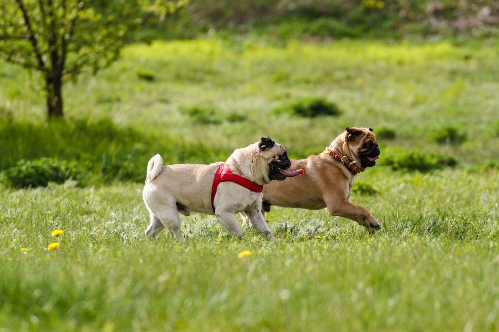 Mops spielt mit anderen Hunden