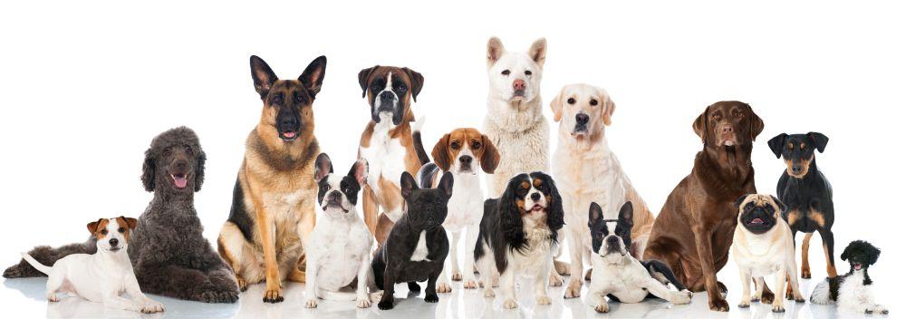 Lebensdauer des Mops im Vergleich mit anderen Hunderassen