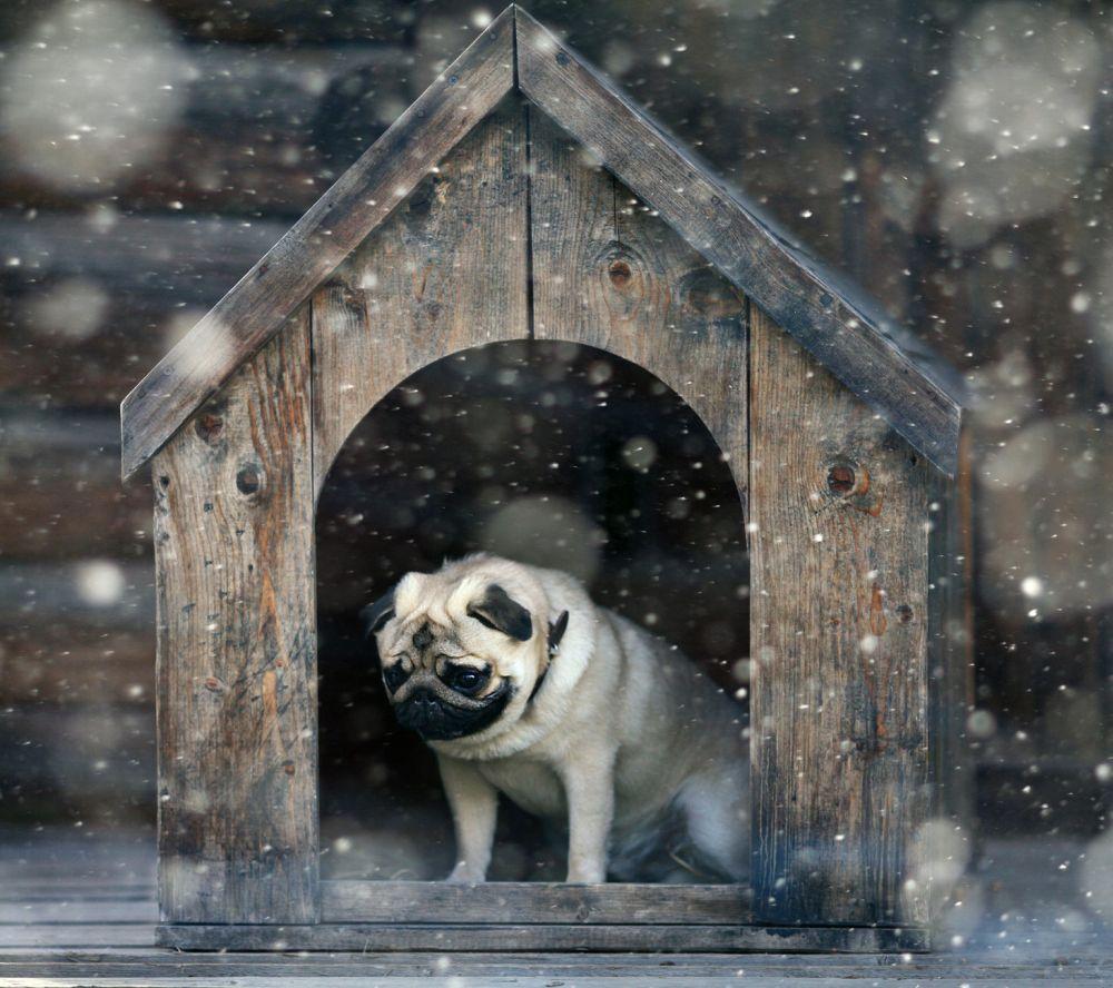 Mops in Hundehütte