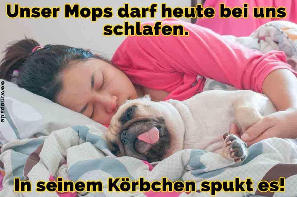 Ein Mops auf dem Bett mit seinem Besitzer schlafen