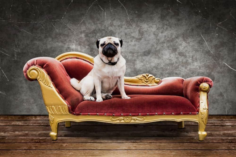 Mops sitzt auf dem Sofa